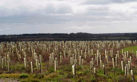 A field of saplings in plastic guards