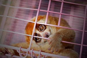 A caged slow loris rescued from illegal wildlife traders in Pekanbaru, Indonesia.