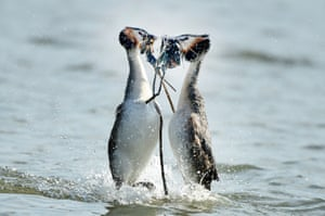 A pair of wild great crested grebe go through their ritual courtship dance where the female is offered weed from the the lake in Furzton, England.