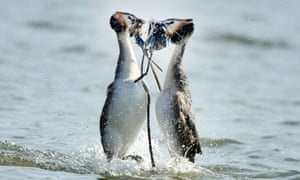 A pair of great crested grebes go through their courtship ritual