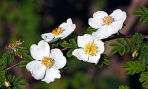 Rosa pteracantha