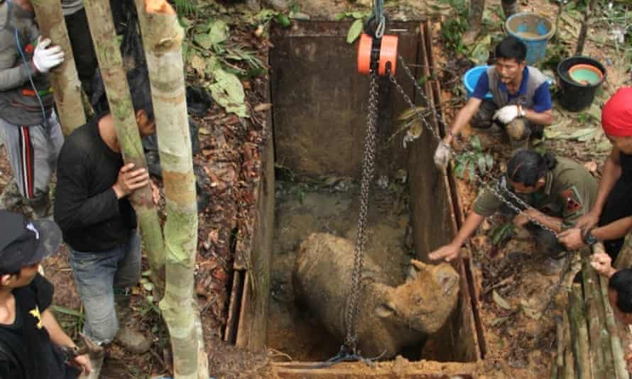 The first live sighting of a Sumatran rhino in Kalimantan, the Indonesia part of Borneo, in over 40 years.