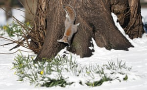 A squirrel forages in the snow in St James' Park, London