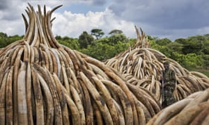 Kenya will burn about 105 tonnes of elephant ivory and 1.5 tonnes of rhino horn in 11 large pyres