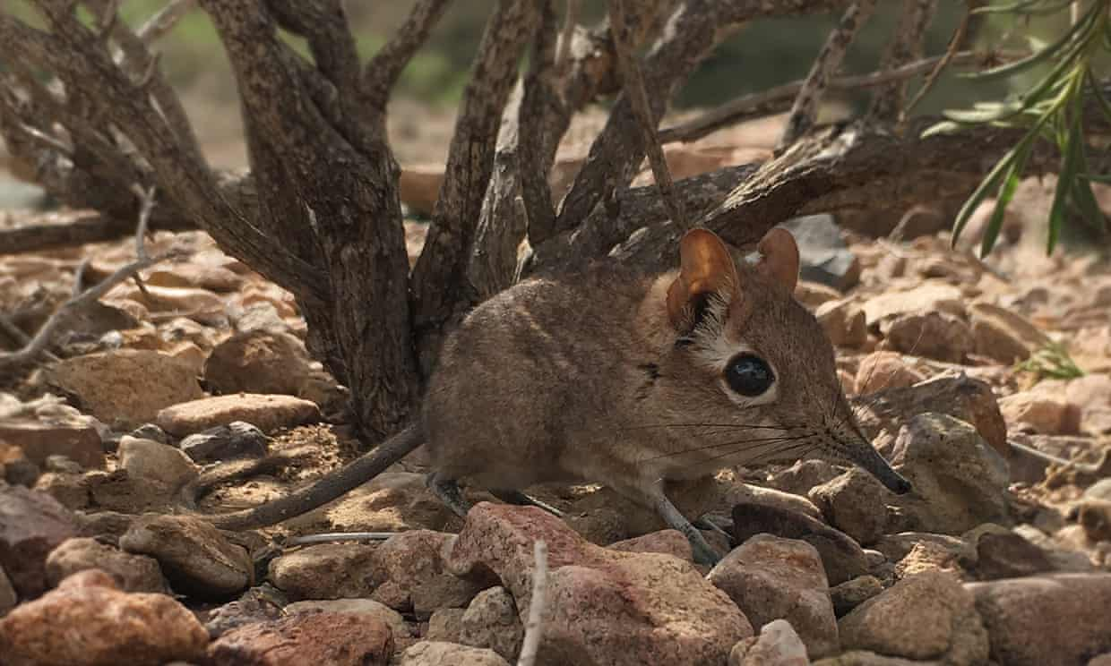 The Somali sengi mates for life, can race around at 30km/h and sucks up ants with its trunk-like nose. Photograph: Global Wildlife