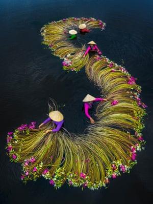 Waterlilies harvesting season, Long An- Vietnam