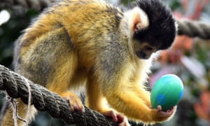 A black capped squirrel monkey enjoys an Easter surprise at London zoo.