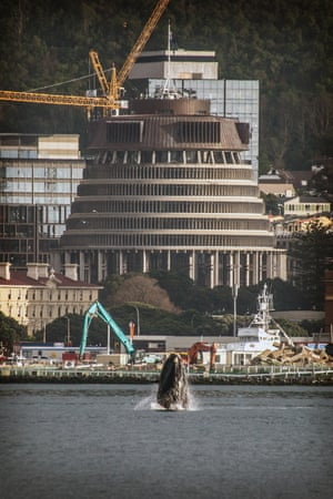 A southern right whale is entertaining locals in Wellington harbour in front of the New Zealand parliament.