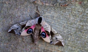 An eyed hawk-moth resting on a tree trunk