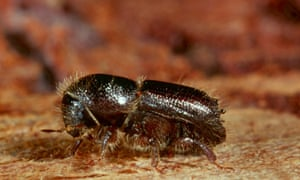 Bark beetle is a common name that refers to many species of tree-loving beetles. This is the spruce bark beetle from Germany.