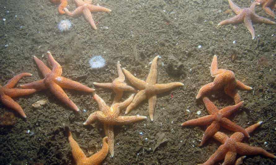 common starfish and sea anemones