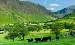 Cattle in pastureland in the Lake District national park