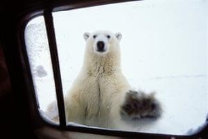 Polarbear (Ursus maritimus) at car window, Churchill, Canada