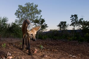 The maned wolf is among the large mammals in the Brazilian Cerrado that are threatened by the increasing conversion of grasslands into farmland for grazing and growing crops.