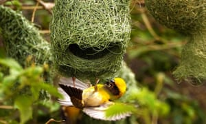 A baya weaver (Ploceus Philippinus) builds its nest on the outskirts of Ajmer, India