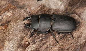 Lesser stag beetle (Dorcus parallelopipedus)