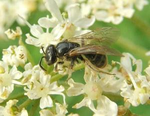 Lobe-spurred furrow bee (Lasioglossum pauxillum) on cow parsley