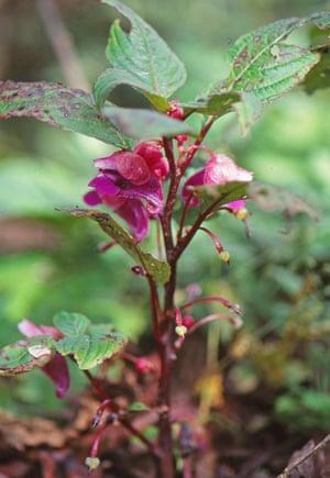 Impatiens kingdon-wardii has two petal coverings (sepals) resembling mouse ears.