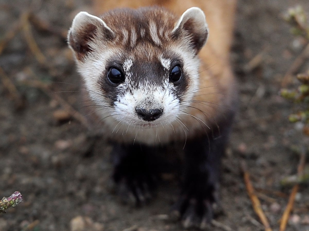 An Invisible Enemy The Battle To Save Black Footed Ferrets From The Plague Endangered Species The Guardian