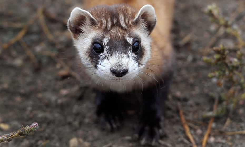A black-footed ferret bred in captivity