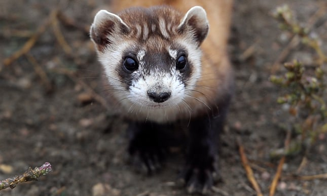An invisible enemy: the battle to save black-footed ferrets from the plague