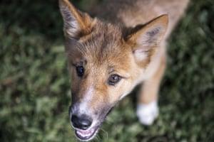 Wandi the dingo pup