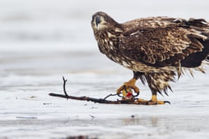 An immature bald eagle tries to hunt a plastic duck on the frozen Quidi Vidi lake in St John's, Newfoundland, Canada. It was seen picking up and trying to take a bite out of the bath toy, before tossing it away.