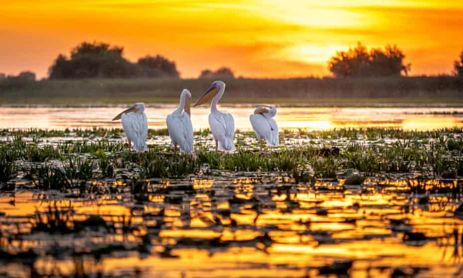 Pelicans at sunrise in the Danube Delta, Romania.