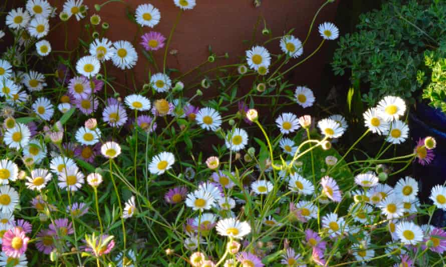 'It is their paintbox of colours that make these frothy daisies so endearing.'