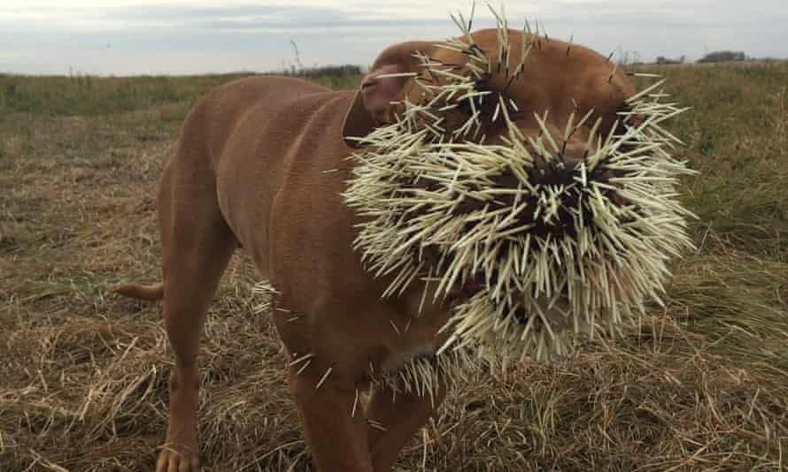 Nestah received a muzzle full of quills.