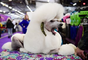 Standard Poodle named George yawns during the 143rd Westminster Kennel Club Dog Show