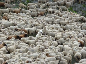 By Christina Bennett On the last day of the Tour Du Mont Blanc, while coming over a high pass, I was confronted by this huge herd of sheep. Then I noticed this content, if somewhat bemused, dog in the middle of them.