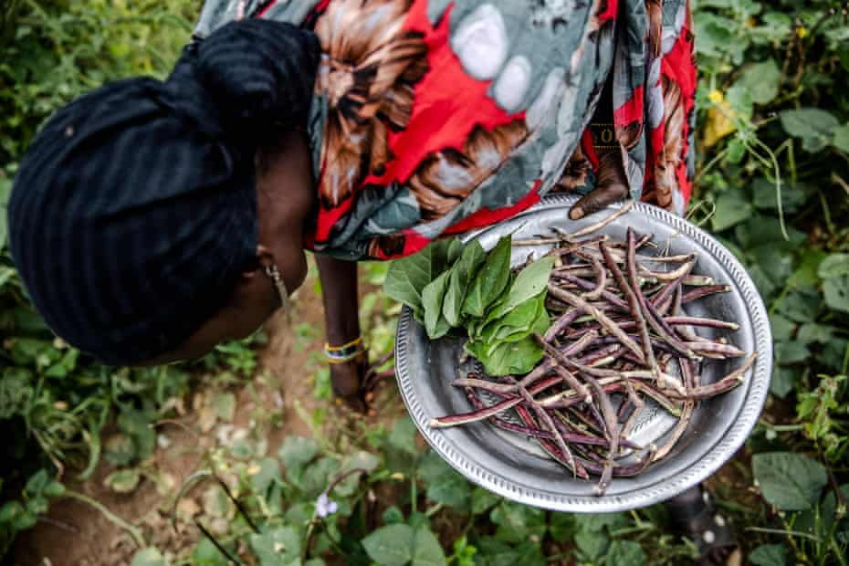 A farmer harvesting cowpeas in Moyale, Kenya in July. Small-scale rural farmers produce a third of the world's food.