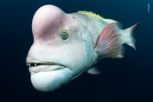 Accentuating his mature appearance with pastel colours, protruding lips and an outstanding pink forehead, this Asian sheepshead wrasse sets out to impress females and see off rivals, which he will head-butt and bite, near Japan's remote Sado Island.