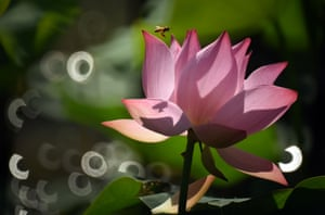 A bee collects honey on a lotus in Taipei's Palace Museum, southeast China's Taiwan