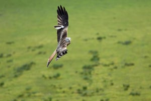 A red kite swoops to the ground in Pontrhydfendigaid, Ceredigion, Wales, UK