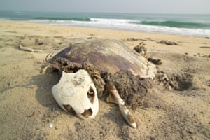 A dead turtle at the national park in Bhitarkanika, eastern India