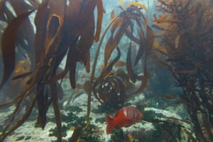 A red roman swims through a kelp forest in False Bay, Cape Town