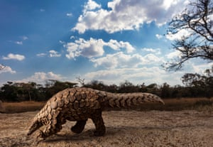 2020 Sony world photography awards nature and wildlife category first prize: Pangolins in Crisis by Brent Stirton