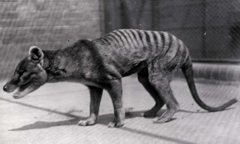 A thylacine, or Tasmanian tiger, in captivity sometime in the 1920s. The thylacine was killed off by European settlers in Australia who erroneously viewed it as a sheep killer.