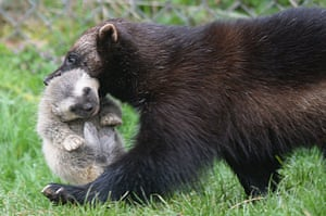 Whipsnade, UK. A female wolverine carries her cub at Whipsnade Zoo. Two baby wolverines were born last month at the zoo following a breeding first for the international conservation charity ZSL. Numbers in the wild are decreasing, so the breeding programme is of global significance