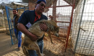 A member of the international animal welfare charity Four Paws worker carries a sedated fox during the evacuation of the animals from a Gaza zoo.