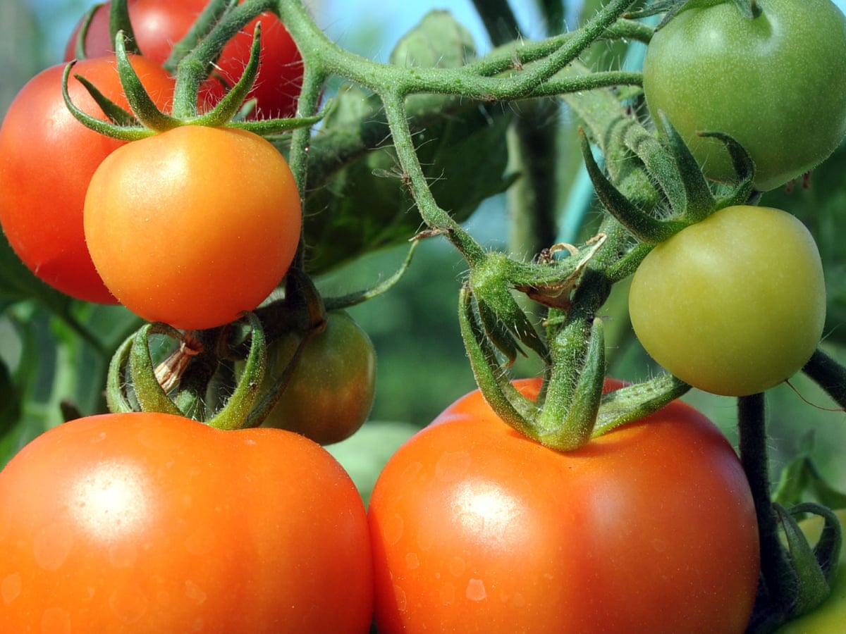 Gene editing could create spicy tomatoes, say researchers   Food ...