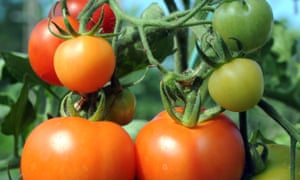 Tomatoes growing on a plant