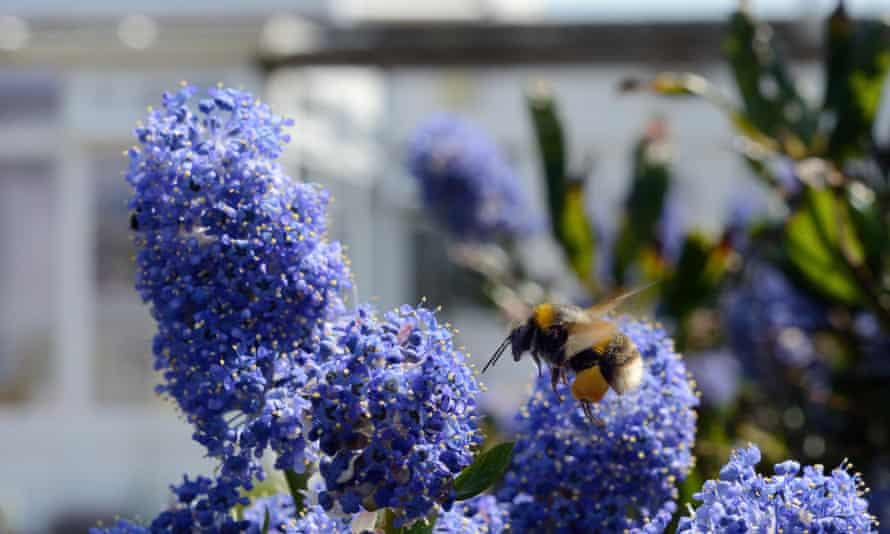 Buff-tailed bumblebee  flying to Ceanothus flowers in a garden