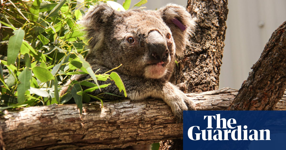 Australia S Environment Minister Says Up To 30 Of Koalas Killed In Nsw Mid North Coast Fires Australia News The Guardian
