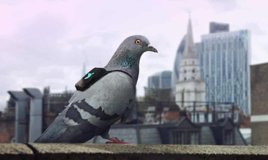 One of the 'pigeon air patrol', a publicity stunt on 14-16 March, equipping racing pigeons with pollution sensors to highlight London's air quality problem.