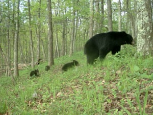Bearst from Candid Creatures: How Camera Traps Reveal the Mysteries of Nature