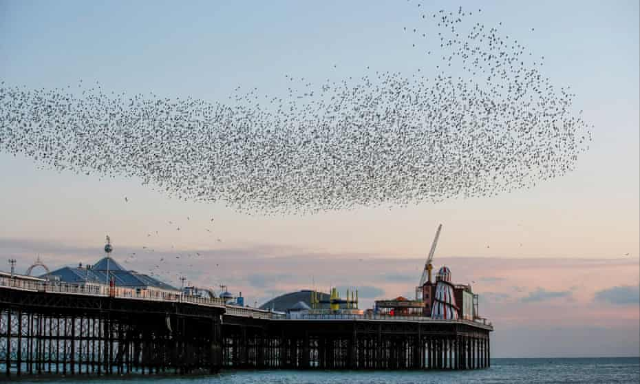A murmuration of starlings over Brighton pier