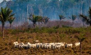 Cattle graze after a fire in the Amazon rainforest near Novo Progresso, Brazil, August 2019.